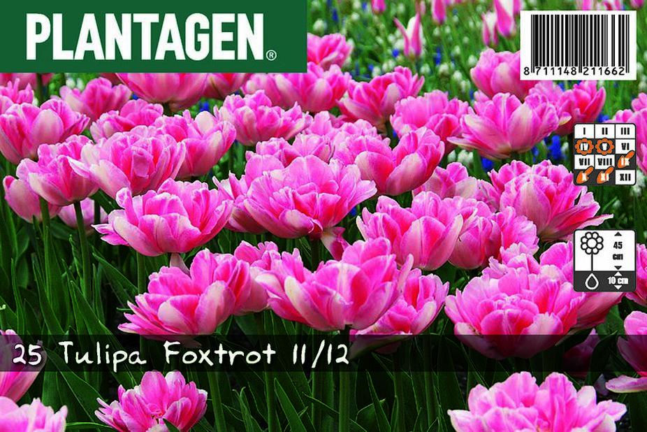 Tulpan 'Foxtrot', Flera färger