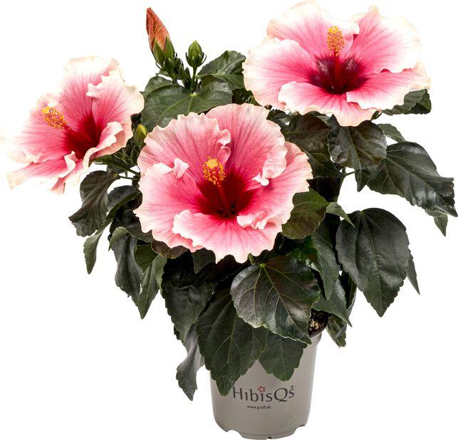 Hibiskus, Höjd 25 cm, Flerfärgad