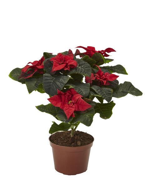 Julstjärna 'Winter Rose', Höjd 29 cm, Flera färger
