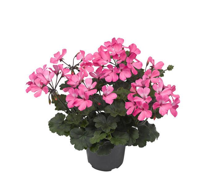 Pelargon Calliope 'Dark Pink', Ø13 cm, Rosa