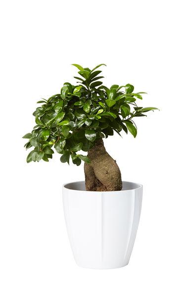 Citronfikus , Höjd 40 cm, Grön