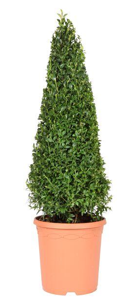 Trädbuxbom 'Arborescens' pyramid, Ø21 cm, Grön
