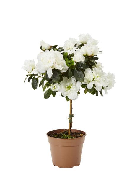 Azalea på stam, Ø12 cm, Vit