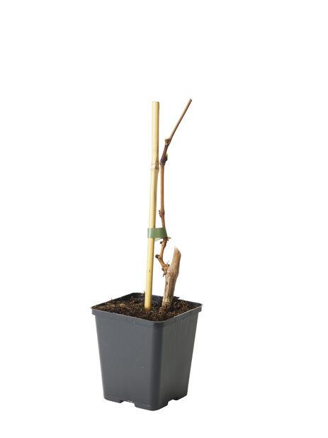 Labruskavin 'Sukribe', Ø12 cm, Grön