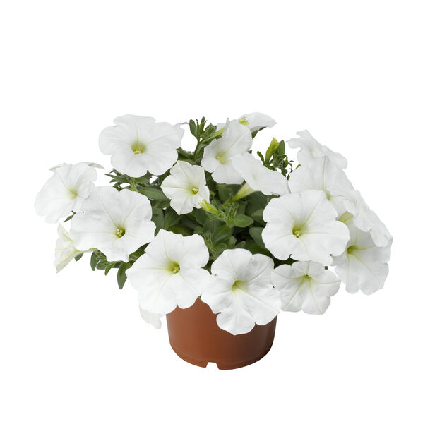 Petunia, Ø12 cm, Vit