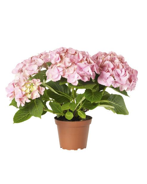 Hortensia, Höjd 35 cm, Rosa