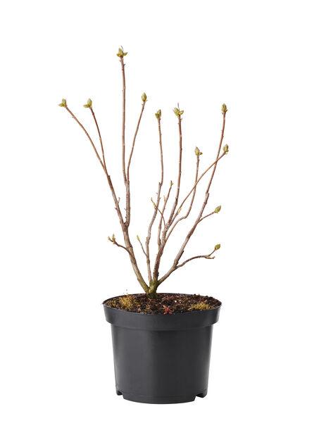 Trädgårdsazalea 'Persil', Höjd 40 cm, Vit