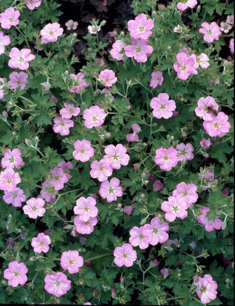 Chathamnäva 'Mavis Simpson', Höjd 15 cm, Rosa