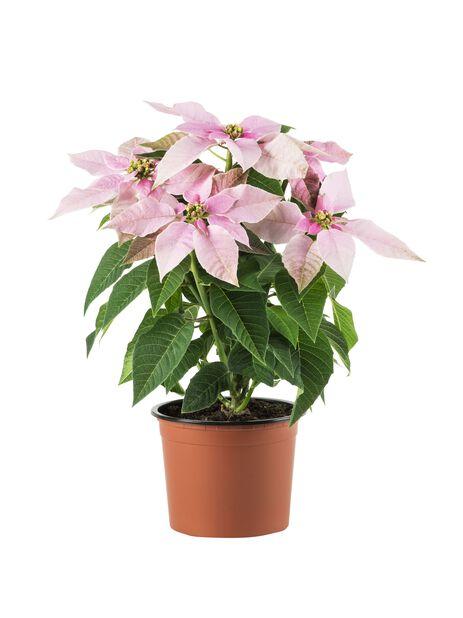 Höststjärna 'Princettia Pink' 12 cm