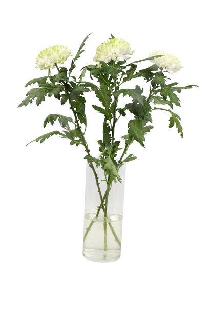 Krysantemum, Höjd 60 cm, Flera färger