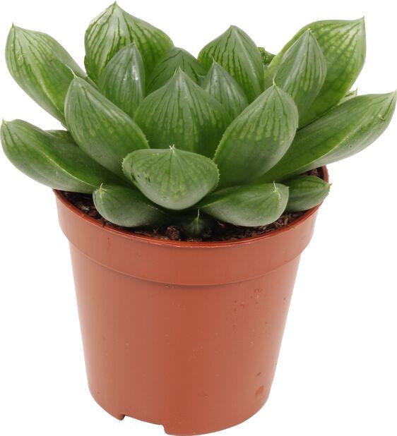 Aloe/Haworthia mix, Höjd 7 cm, Grön