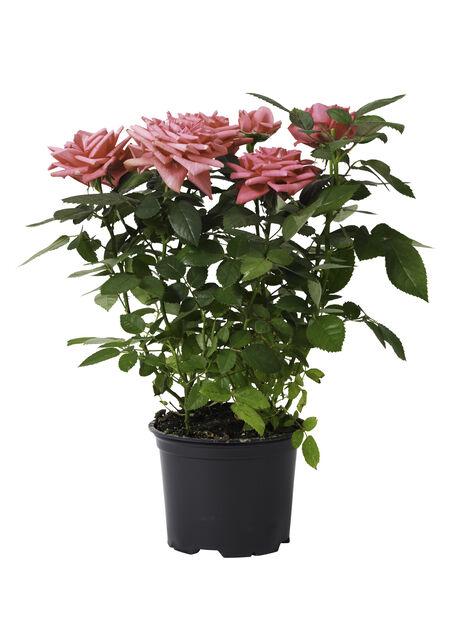Ros i kruka , Höjd 40 cm, Rosa