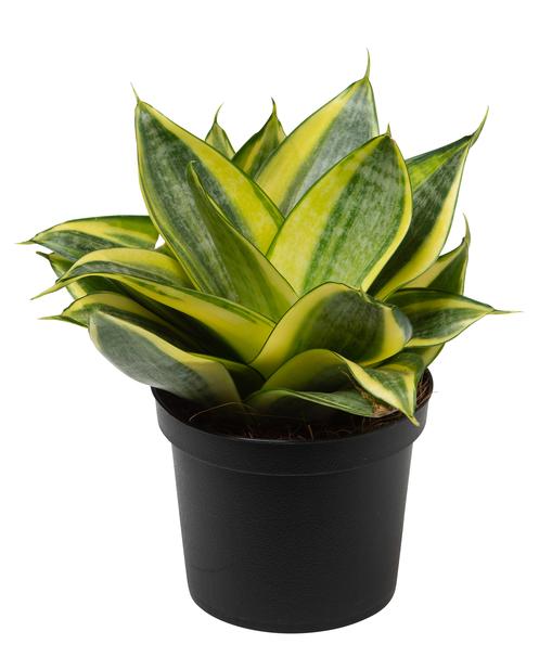 Aloe demi, höjd 30 cm