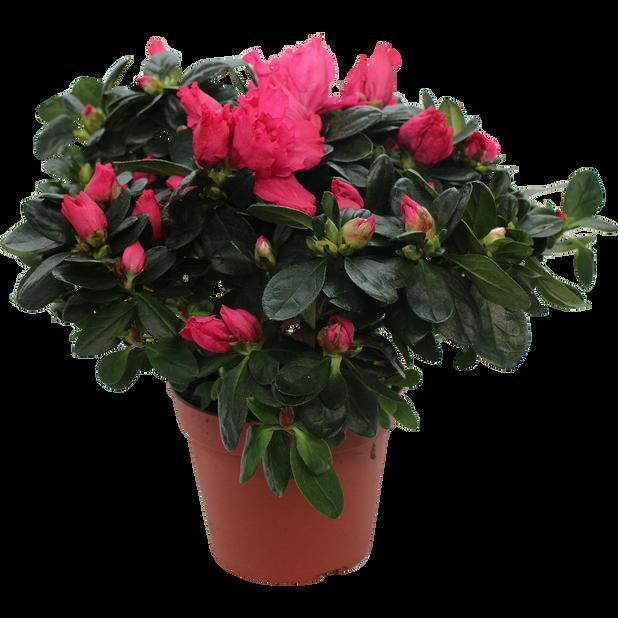 Azalea, Ø17 cm, Röd