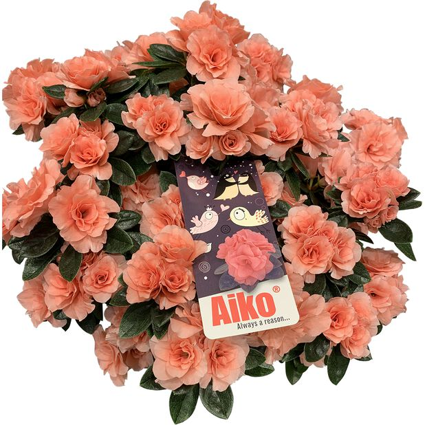 Azalea 'Aiko Rosa', Ø12 cm, Terrakotta