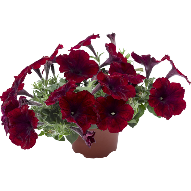 Petunia 'Deep Burgundy', Ø12 cm, Burgundy
