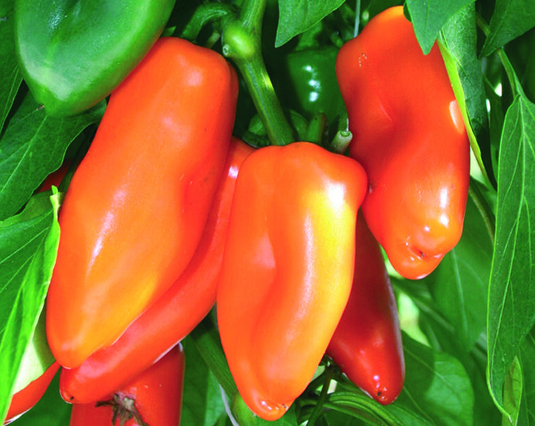Chili 'Bonzi', Ø12 cm, Röd