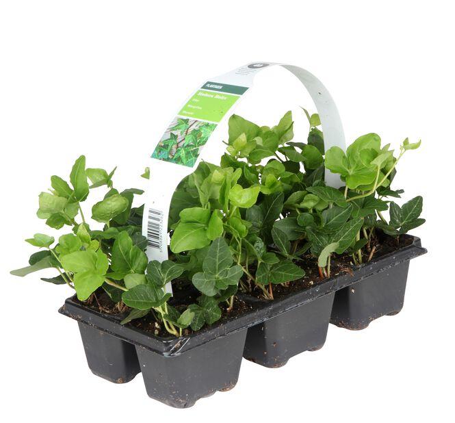 Murgröna 6-pack liten