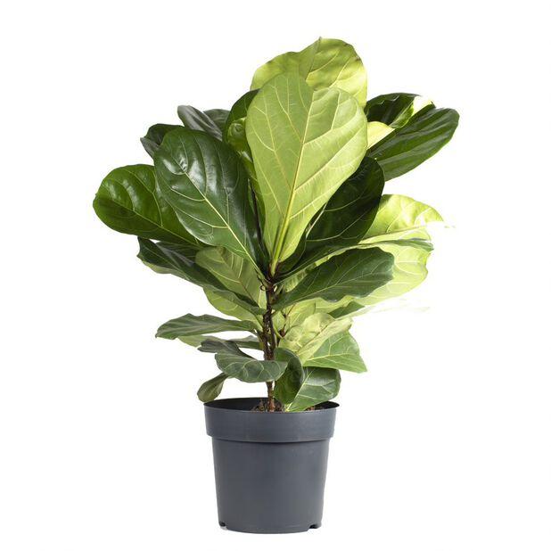 Fiolfikus, Höjd 100 cm, Grön
