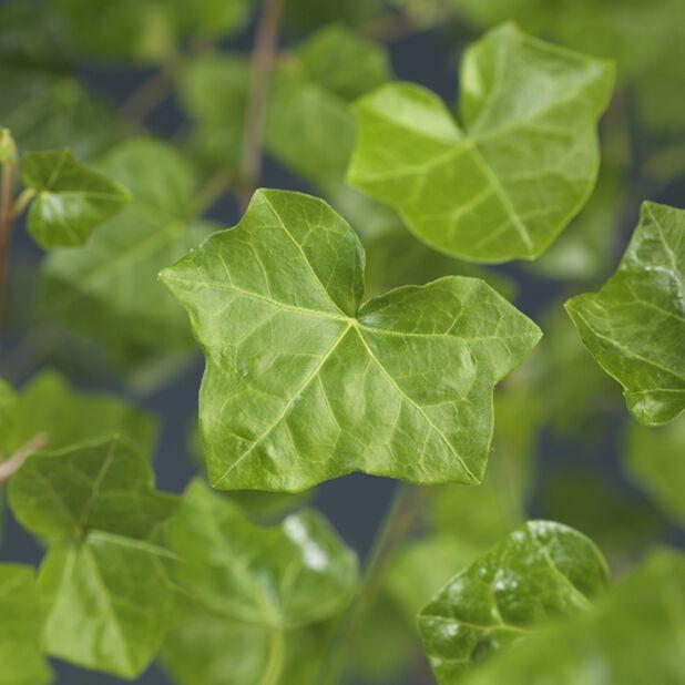 Storbladig murgröna 'Hestor', 6-pack, Grön