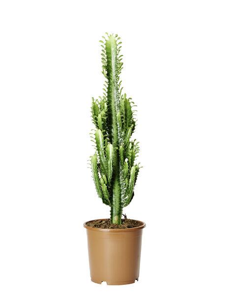 Kaktus 'Cowboy' , Höjd 65 cm, Grön