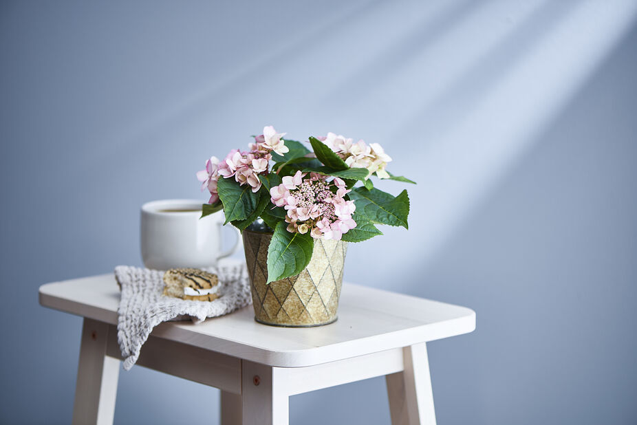 Hortensia liten 10,5 cm