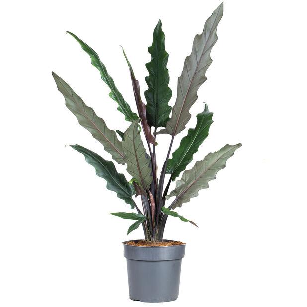 Papuasköld, Höjd 110 cm, Grön