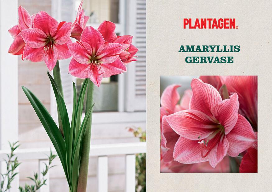 Amaryllis 'Gervase', Flerfärgad