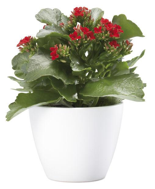 Kalanchoe, Höjd 25 cm, Röd