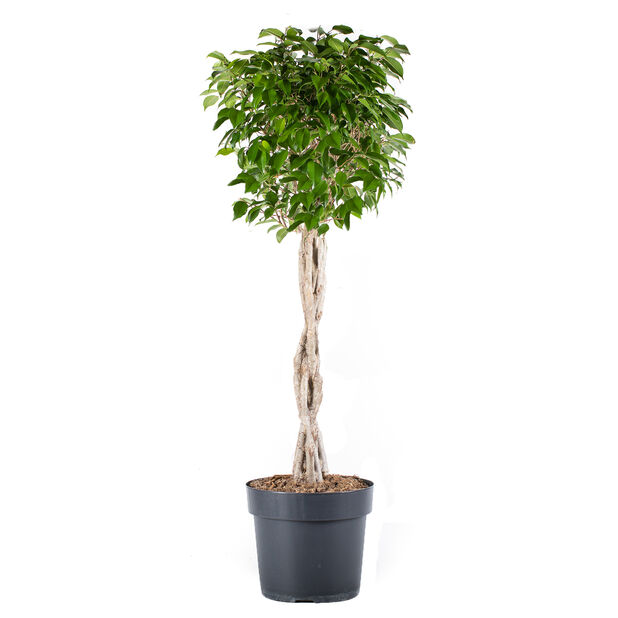 Benjaminfikus, Höjd 90 cm, Grön