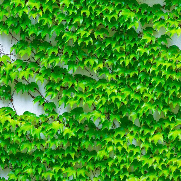 Rådhusvin 'Veitchii', Ø17 cm, Grön