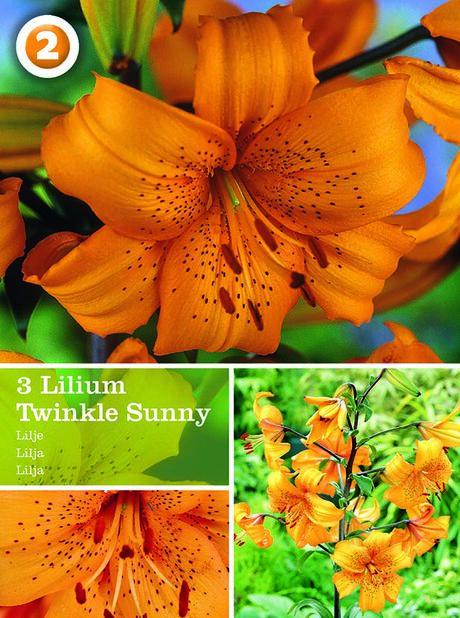 Asiatlilja 'Twinkle Sunny', Orange