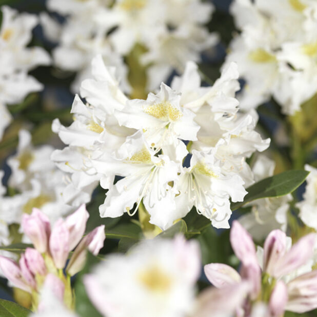 Parkrododendron 'Cunningham's White', Höjd 30 cm, Vit