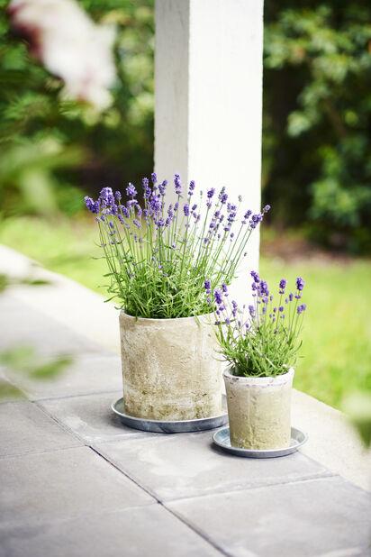 Lavendel, Höjd 30 cm, Blå