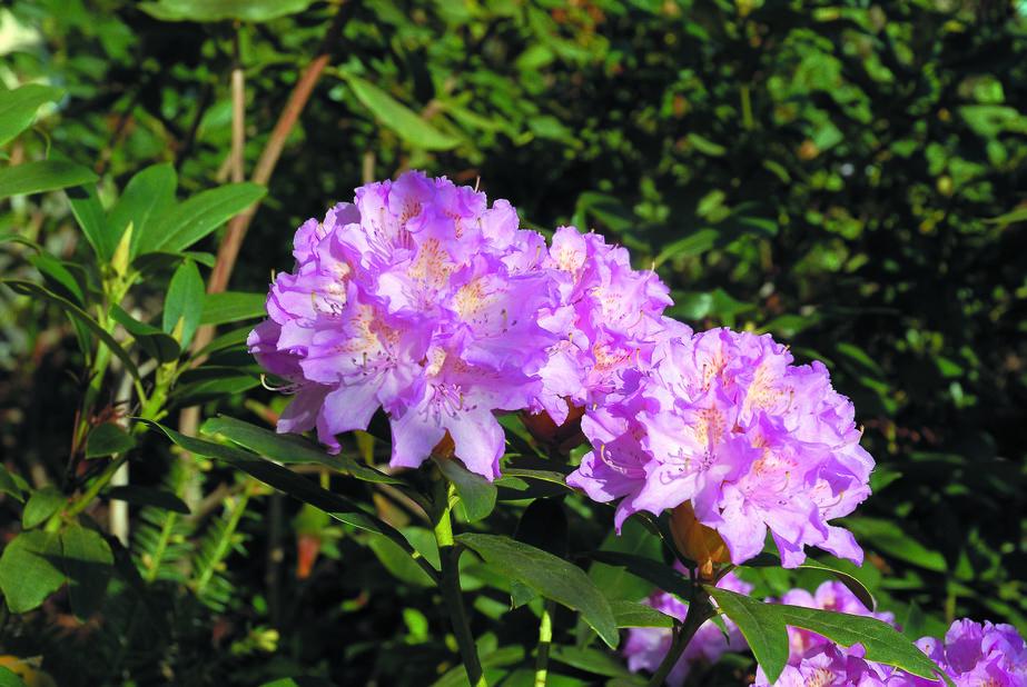 Parkrododendron 'Roseum Elegans' 2 L