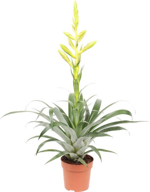 Tillandsia, Höjd 40 cm, Grön