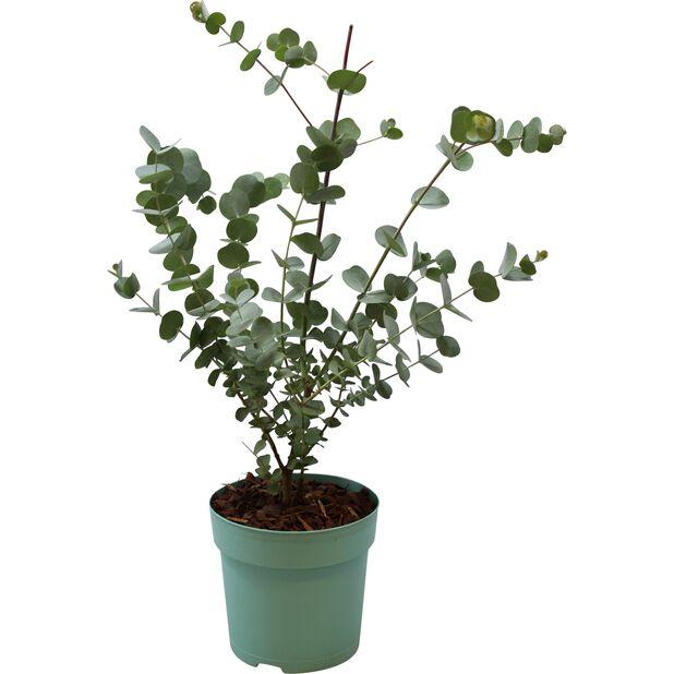 Silvereukalyptus 'Azura', Ø12 cm, Grå