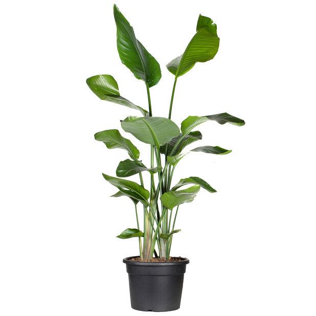 Vit papegojblomma, Höjd 150 cm, Grön