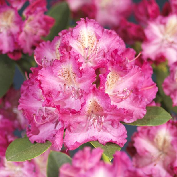 Parkrododendron 'Germania', Ø35 cm, Rosa