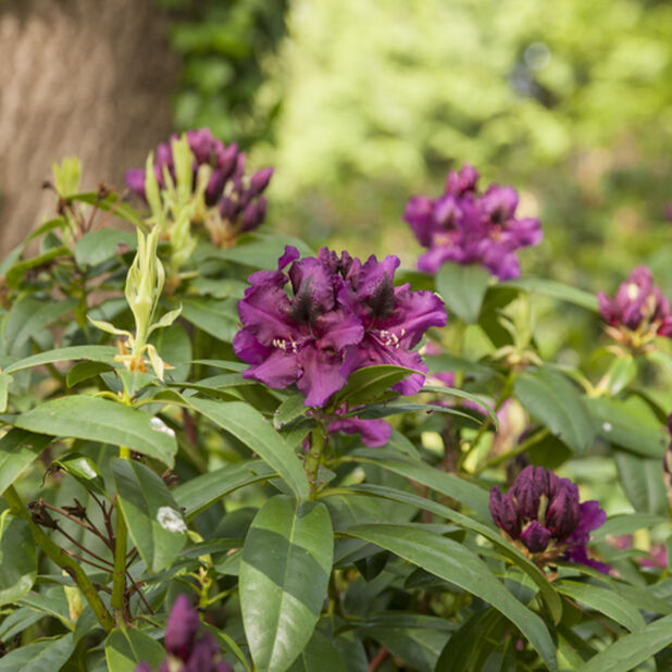 Rhododendron, Ø32 cm, Lila