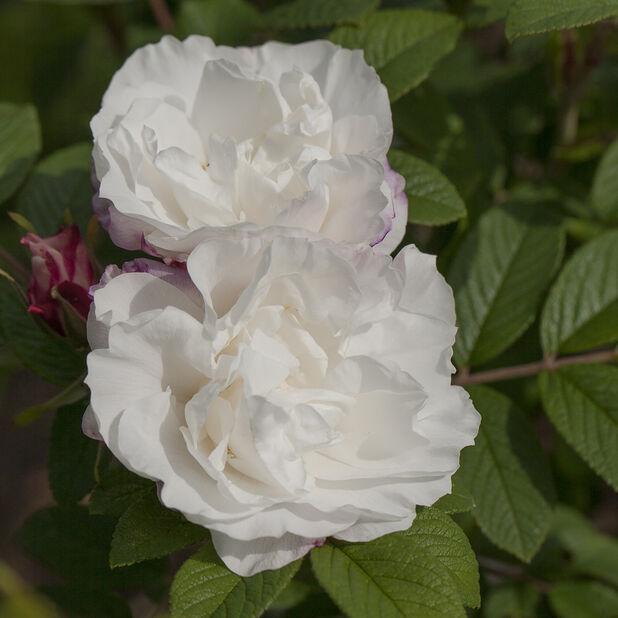 Rugosa-ros 'Louise Bugnet', Ø19 cm, Vit