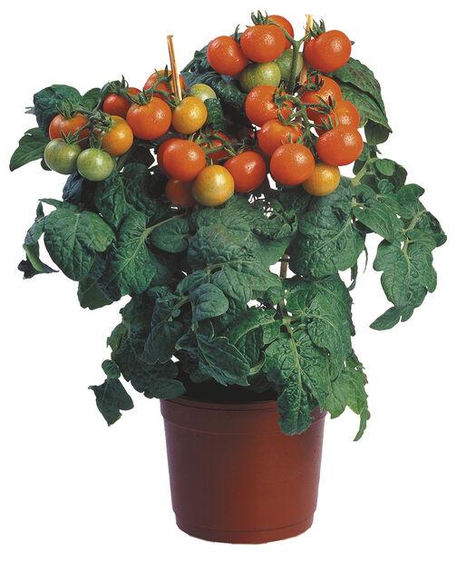 Körsbärstomat, Ø14 cm, Röd