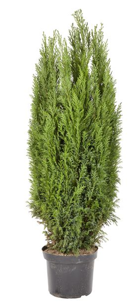 Ädelcypress, Höjd 100 cm, Blå
