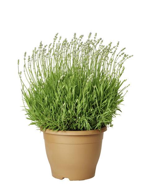 Lavendel 26cm