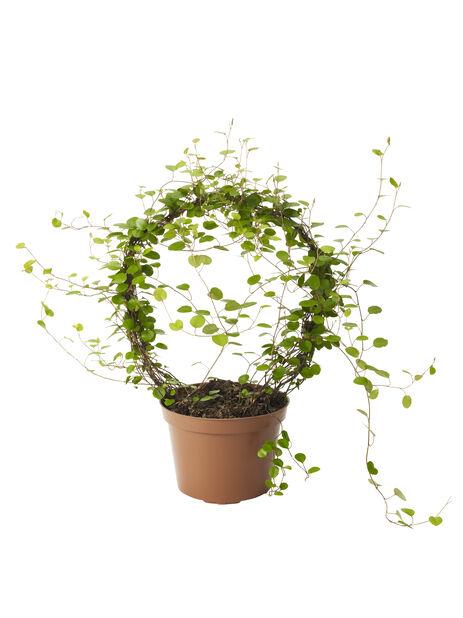 Plättar , Höjd 35 cm, Grön