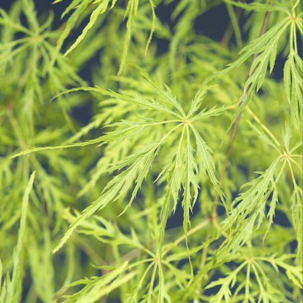 Flikbladig japansk lönn 'Dissectum', Ø19 cm, Grön