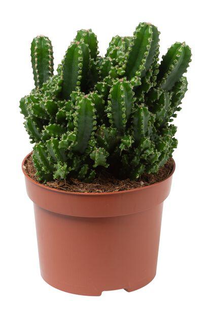 Pelarkaktus, Höjd 25 cm, Grön