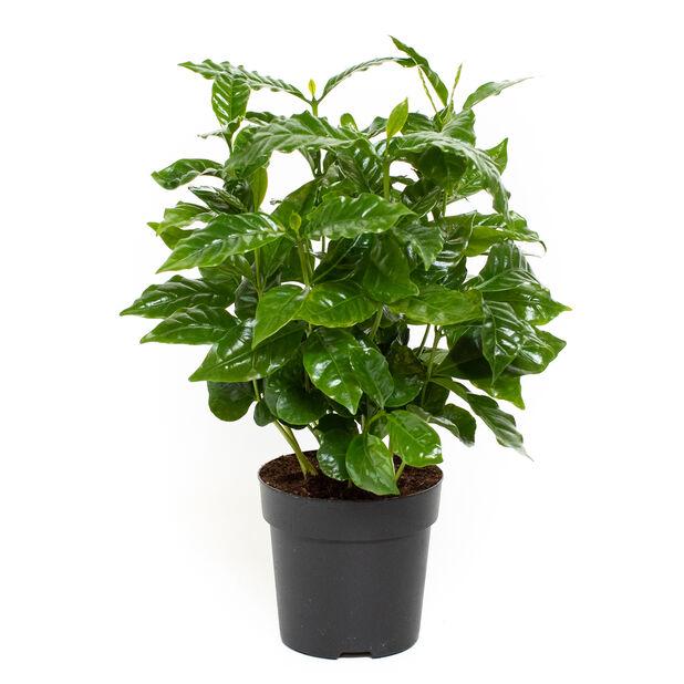 Kaffeplanta, Höjd 25 cm, Grön