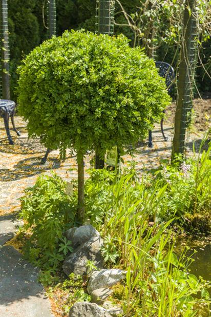 Trädbuxbom 'Arborescens', uppstammad, Höjd 80 cm, Grön