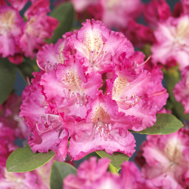 Parkrododendron 'Germania', Höjd 40 cm, Rosa